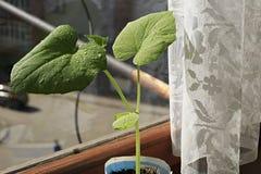 Concombres de jeunes plantes L'élevage pousse à la maison Photographie stock