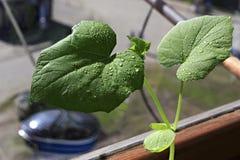 Concombres de jeunes plantes L'élevage pousse à la maison Images stock