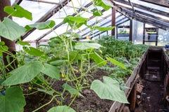 Concombres de jeunes plantes La culture des concombres en serres chaudes Images libres de droits