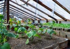 Concombres de jeunes plantes La culture des concombres en serres chaudes Image stock