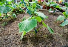 Concombres de jeunes plantes La culture des concombres en serres chaudes Photos libres de droits