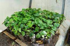 Concombres de jeunes plantes La culture des concombres en serres chaudes Photographie stock