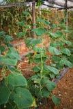 Concombres de jeunes plantes La culture des concombres en serres chaudes Jeunes plantes en serre chaude Élevage des légumes en se Photos stock