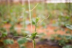 Concombres de jeunes plantes La culture des concombres en serres chaudes Jeunes plantes en serre chaude Élevage des légumes en se Image stock