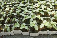 Concombres de plantes dans le bac photographie stock libre de droits