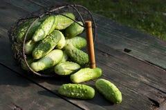 Concombres de récolte dans un panier Photos libres de droits