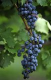 Concord grape close-up. Close-up of concord grape vine stock photography