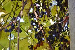 Concord grape in vine. Concord grapevine under a home made arbor Royalty Free Stock Image