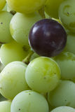 Concord Grapes. A bundle of Concord Grapes with only one ripe Stock Photos