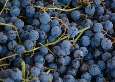 Concord grapes Stock Images