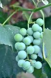 Concord Grapes. A bunch of green concord grapes ripening on the vine stock photos