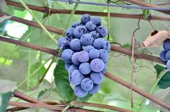 Concord Grapes. A bunch of ripe sweet wild purple concord grapes on the vine stock photography