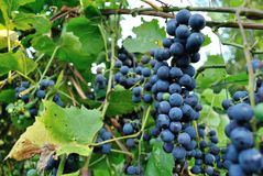 Concord grapes growing on fence Stock Photo
