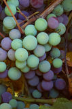 Concord wine grapes. On the vine beginning to go from green to purple as sugar content increases stock images