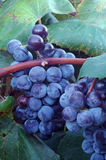 Concord wine grapes. Iowa-grown concord wine grapes on the vine stock image