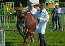 Concorrenza del Bull Fotografia Stock Libera da Diritti