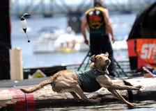 Concorrenza del cane del ferro Fotografie Stock