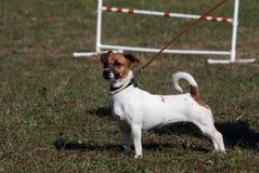 Concorrenza di agilità del cane Fotografia Stock Libera da Diritti