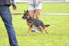 Concorso canino fotografia stock