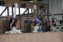 Concorso di scorrimento di pecore Immagine Stock Libera da Diritti