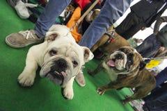 Concours de chien photos libres de droits
