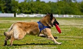 Concours de frisbee de chien dans le disque courant Image stock
