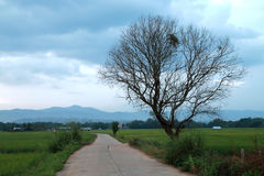 Concreate road and dead tree. In the rice field have dead tree beside the concreate road Royalty Free Stock Photos