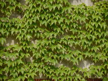 Concrete block wall overgrown with ivy Stock Image