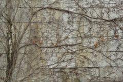 Concrete die muur in leafless klimop wordt behandeld Stock Afbeeldingen