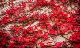 Concrete die muur met loach wordt gevlecht De achtergrond van de herfst Rode en oranje het bladclose-up van de kleurenKlimop stock afbeeldingen