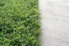 Concrete pathway and green flower cover Royalty Free Stock Photography