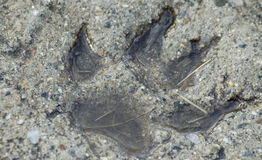 Concrete Paw Print. A wolf paw print set in concrete Royalty Free Stock Photo