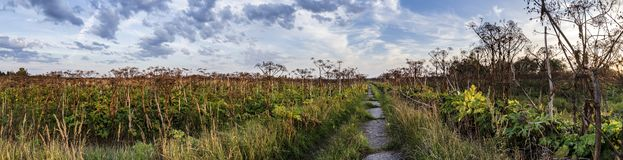 Concrete road passes through an abandoned field with a giant, toxic hogweed Heracleum or the cow parsnip, against a blue sky and. Concrete road, grass-covered royalty free stock photography