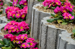 Primula flower bed. Concrete, stone flower plant flowers in spring season flower bed Stock Photos