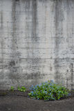 Concrete wall with blue flowers Royalty Free Stock Image