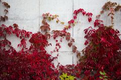 Concrete wall covered in ivy with red leaves royalty free stock images