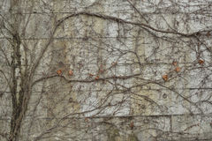 Concrete wall covered in leafless ivy Stock Images