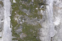 Concrete wall with grunge texture and moss green algae , texture background Royalty Free Stock Images