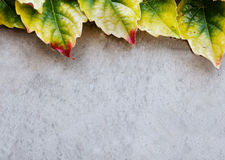 Concrete wall and ivy leaves texture Stock Photos