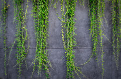 Concrete wall or marble wall and ornamental plants or ivy or garden tree. Royalty Free Stock Images