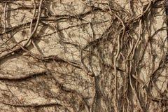 Concrete wall overgrown branches. Sun shadows Royalty Free Stock Photo