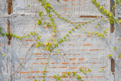 Concrete wall vines Stock Photography