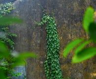 Concreto verde do tijolo da parede da tampa da planta de videira da folha imagens de stock royalty free