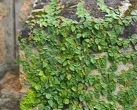 Concreto verde do tijolo da parede da tampa da planta de videira da folha fotografia de stock royalty free