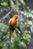 Concure ήλιων ή parakeet, solstitialis Aratinga Στοκ Φωτογραφίες