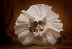 Condessa bonito do gato no olhar branco do colar na câmera interna Fotografia de Stock
