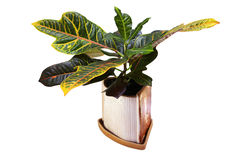 Condiaem Variegatum (croton). In the flowerpot isolated on white stock photography
