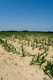 Condiciones de la sequía en campo de maíz de Illinois Imagen de archivo