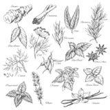Condimentaciones de las especias del bosquejo del vector y de las plantas de la hierba stock de ilustración