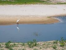 Condizione alba dell'ardea o dell'airone bianco maggiore sulla banca del foro dell'acqua dolce con la riflessione e sull'erba ver fotografia stock